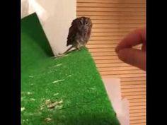 Baby owl wants a scratch