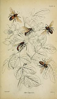 *The Graphics Fairy LLC*: Instant Art Printable - Lovely Bees - Natural History Bee Images, Images Vintage, Botanical Illustration, Botanical Prints, Illustration Art, Vintage Bee, Vintage Ephemera, Vintage Country, Country Style