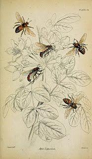 vintage bee illustration