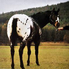 Muscles Malone 1989 Stallion APHC 485936 Colorado State Campion:Western Pleasure , English Pleasure , Halter
