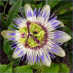 Πασιφλώρα, Passiflora incarnata, ρολογιά, ρολόι, λουλούδι του πάθους, τιμή, αγορά, ιδιότητες