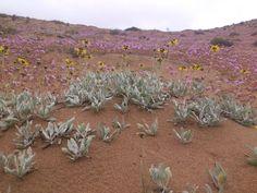 """Desierto Florido III Región Atacama Chile """" entre piedras y arena nace las flores en donde no existe agua, escasa llovizna cada cierto tiempo."""