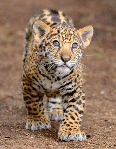 Cute little jaguar cub, but in his stocky build you can already see the potential for power.