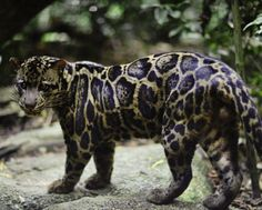 Bornean Clouded Leopard has lived on the islands of Borneo and Sumatra for hundreds of thousands of years and yet was only recently recognized as a separate feline species. Called 'Neofelis Diardi' the cat is now believed to be different from the mainland clouded leopard the 'Neofelis Nebulosa'. The difference was established after a detailed chromosomal analysis during which enough contrast was found with the clouded leopard to stop considering it as its subspecies…