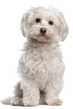 Startonight Wall Art Canvas Cute Maltese Puppy, Dogs USA Design for Home Decor, Dual View Surprise Artwork Modern Framed Ready to Hang Wall Art 23.62 X 35.43 Inch 100% Original Art Painting!