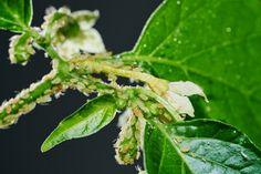A levéltetű gyorsan meg is ölheti a növényt, ezért cselekedni kell! Plant Leaves, Mint, Herbs, Vegetables, Garden, Remedies, Plants, Home, Garten