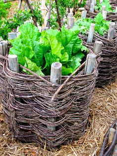 Home made baskets from sticks and then lettuce growing in the middle