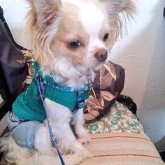 おはようございます。 今日はアチチな1日になりそうです。水分補給を忘れずに!  #わんこ #愛犬 #犬 #いぬ #チワワ #ロンチー #チワワラブ #シェルティー #シェットランドシープドッグ #chihuahua #chihuahualove #sheltie #shetlandsheepdog  #sheltielove #dog #dogstagram #pet #petstagram #かわいい