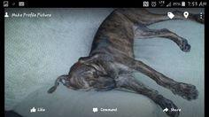 Lost Dog - Plott Hound - Altamonte Springs, FL, United States
