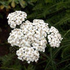 200+ White Yarrow Flower Seeds , Under The Sun Seeds