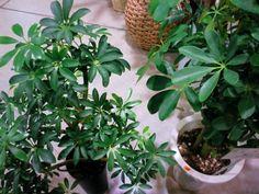 シェフレラ コンパクタ | プロトリーフの観葉植物ブログ
