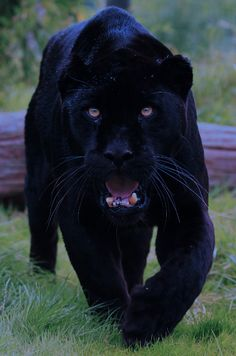 Black panthers are powerful, intelligent, and exotic animals. The black panther's habitats include the rainforest. Big Cats, Cool Cats, Cats And Kittens, Black Panther Habitat, Beautiful Cats, Animals Beautiful, Beautiful Creatures, Animals And Pets, Cute Animals