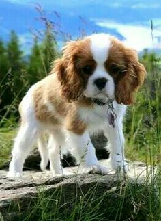 Getting ready to pounce , haha. Cavalier puppy