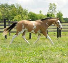 Buckskin Sabino Thoroughbred colt - dream horse??!<3 this horse is a must have omg