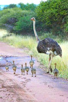 Cute baby ostriches