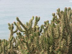 Cacti, Cactus, Cactuses. Portugal.