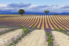 Lavander fields by Domenico Rota on 500px