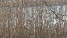 Hidden ducks, Slapton Ley.