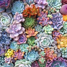 fairyblooms: Fun little fact about these succulent photos: when I'm removing the soil to pre. Succulent Gifts, Succulent Gardening, Succulent Terrarium, Planting Succulents, Garden Plants, House Plants, Succulent Rock Garden, Succulent Seeds, Succulent Plants