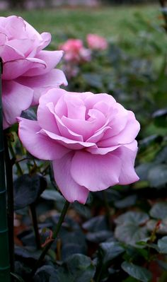 'Blue light'   HT rose. Ryojun Ito,1995(Japan)   Flickr - © Lillakanarie