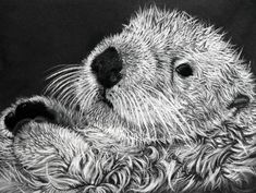 Southern Sea Otter. Endangered Population 2,800 in California. Drawing by Sharlena Wood www.sharlenawood.com