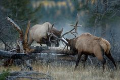 Check out this great collection of bull elk fights. These impressive photos show how intense these battles can get!
