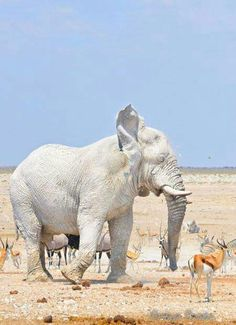 19 Rare Albino Animals - I Can Has Cheezburger? 19 Rare Albino Animals - World's largest collection of cat memes and other animals Photo Elephant, Elephant Love, Elephant Images, Elephant Art, Elephant Gifts, Rare Albino Animals, Unusual Animals, African Elephant, African Animals