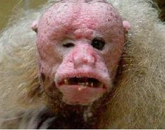 its an ugly monkey because of its 1 small eye and 1 big, and also skinny face with no hair and different colour.