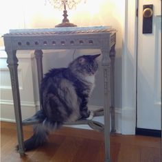 Frank the #Maine coon #cat