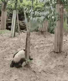 Panda drop ... funny gifs falls from tree