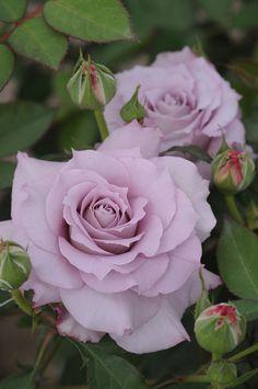 Floribunda Rose: Rosa 'Seiryu' (Japan, 1992)