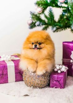 Christmas Pomeranian