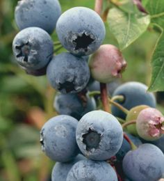 Blueberry ideal for pots. Online Garden plants supplier