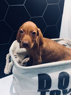 Muku the Vizsla 8 weeks old