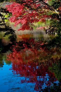 Autumn Maple Tree - Tokyo, Japan