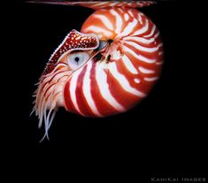"Chambered Nautiluses, Nautilus pompilius ... such a wondrous creation ...  ""The fool hath said in his heart. there is no God ...""  Psalm 14:1"