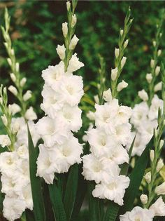 Perennial Gladiolus Flower Seeds, Rare Sword Lily Seeds for DIY HOME garden planting Aerobic potted plants decoration White Flowers, Beautiful Flowers, Rare Flowers, Gladiolus Flower, Line Flower, Garden Types, Blooming Plants, Bulb Flowers, White Gardens