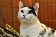 Pastry raised her kittens and watched them all get adopted, but she is still waiting to find a home of her own. Please share Pastry's bio to help her get adopted.