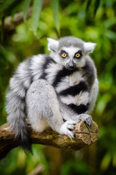Ring-Tailed Lemur by Mathias
