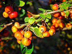 Vom Holzapfel haben Sie noch nie gehört? Das ändern wir: In der EAT SMARTER Warenkunde lesen Sie alles über die uralte, wild wachsende Apfelsorte.
