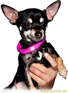 Light collar LEUCHTIE Mini in pink for small dogs.
