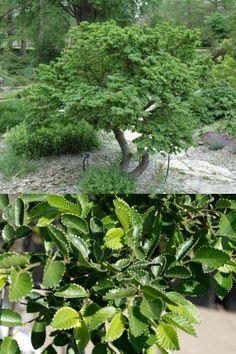 🌳 Wiecie, że niektóre gatunki wiązów mogą osiągać nawet 40 metrów wysokości❓  #wiązholenderski #wiązdrobnolistny #drzewaozdobne #rośliny #ogród Herbs, Herb, Medicinal Plants