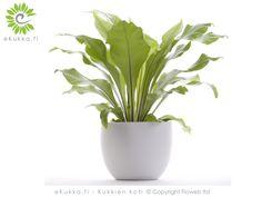 Pesäraunioinen, Asplenium Nidus, viihtyy hieman varjoisassa paikassa. Kastele kasvia säännöllisesti. Pidä huoli, ettei multa koskaan kuivu täysin, vähennä kastelua talvella. Kasvia voi lannoittaa keväästä syksyyn huonekasvilannoitteella kerran kuussa. Pesäraunioinen on viehättävä ja kiitollinen kasvi, kun hoidat sitä huolella! Eetu