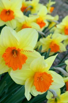 Daffodils by ksparrowphoto on Etsy, $16.00