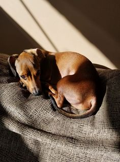 12 Amazing Reasons Dachshunds Are The Cutest Dogs On The Earth - Dachshund Bonus Dachshund Breed, Dapple Dachshund, Funny Dachshund, Dachshund Love, Daushund Puppies, Cute Dogs And Puppies, Weenie Dogs, Doggies, Pet Dogs
