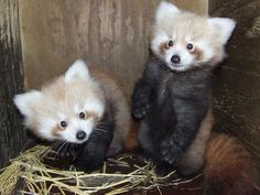 This perky pair of Red Panda cubs will soon debut at New Zealand's Hamilton Zoo! Learn more about this Vulnerable species at ZooBorns.com and at http://www.zooborns.com/zooborns/2015/05/red-panda-hamilton-zoo.html