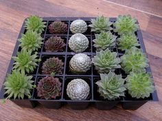 A collection of 20 named Sempervivum plugs deli vered in a smart top opening box. This is an alternative type of collection that we get asked for, which I call the 'display collection'. With only 5 varieties in the collection, and similar sized plants, it is more suited to creating a patterned or clustered display. | eBay!