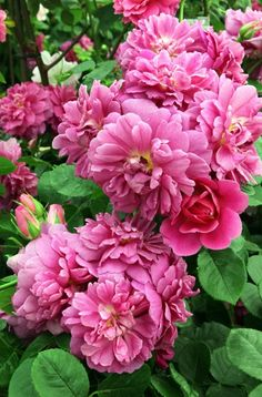 Princess Anne, deep pink with tea rose scent, was named Best New Plant Variety at the Grower of the Year Awards 2011. A compact grower, it is a bushy upright shrub with highly polished disease-resistant foliage.  Picture: ALAMY