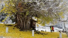 500 year old Ginkgo tree in Iiyama Nagano. [1000x560 cinemagraph]