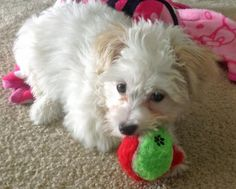 Charlie the Maltese Mix-Looks like a bundle of fun and sweetness!